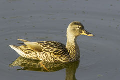 Female mallard duck (Anas platyrhynchus) Stock Photos