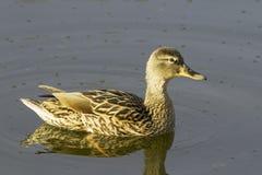 Female mallard duck (Anas platyrhynchus). In natural habitat Stock Photos