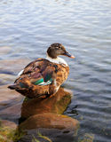 Female mallard duck. Beautiful female mallard duck resting on a pebble Royalty Free Stock Image