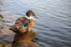 Female mallard duck. Beautiful female mallard duck resting on a pebble Stock Image