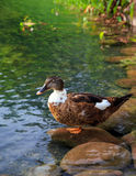 Female mallard duck. Beautiful female mallard duck resting on a pebble Royalty Free Stock Photos