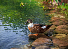Female mallard duck. Beautiful female mallard duck resting on a pebble Royalty Free Stock Photography