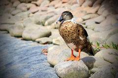 Female mallard duck. Beautiful female mallard duck resting on a pebble Stock Photography