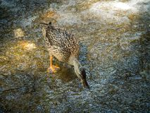 Female mallard duck bird in search of food on a stone near a wat. The female mallard duck bird in search of food on a stone near a waterfall Royalty Free Stock Image