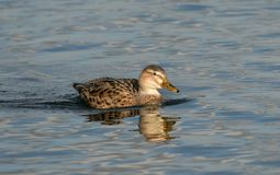 Female mallard duck. On blue lake Stock Photos