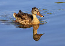 Female mallard duck in blue water. Female mallard duck swimming in blue calm water Stock Photography