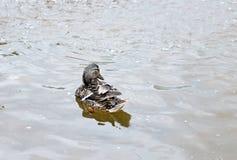 Female mallard duck in city pond. Gray female mallard duck in city pond in spring, back view Stock Photos