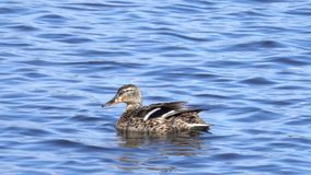 Female Mallard Duck cleaning itself in the water stock footage