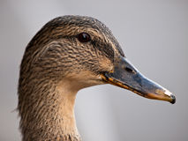 Female Mallard Duck Close up. Closeup head shot of a female hen Mallard Duck Royalty Free Stock Photography
