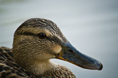 Female Mallard duck close-up. Female duck (Mallard) head close-up Royalty Free Stock Photography