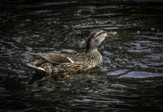 Female Mallard Duck. Close up detail of Mallard duck swimming Stock Image
