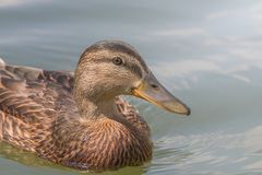 Female Mallard duck Close Up. Wildlife Royalty Free Stock Photography