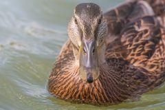 Female Mallard duck Close Up. Wildlife Stock Photography