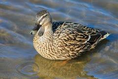 Female Mallard Duck Royalty Free Stock Images