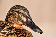 Female Mallard duck close up portrait. A close up, detail head shot of a beautiful female Mallard Duck Royalty Free Stock Photography