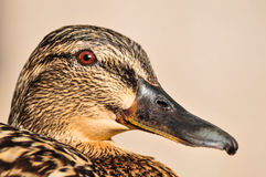 Female Mallard duck close up portrait. Profile view of a beautiful and tame female Mallard Duck's head, showing a lot of details Royalty Free Stock Images