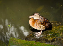 Female mallard duck. Close up of female mallard duck, selective focus Royalty Free Stock Image