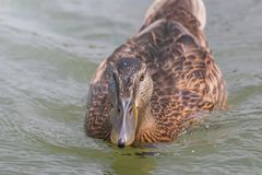 Female Mallard duck Close Up. Wildlife Stock Photos