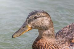 Female Mallard duck Close Up. Wildlife Stock Photography