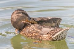 Female Mallard duck Close Up. Wildlife Royalty Free Stock Images