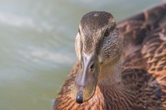 Female Mallard duck Close Up. Wildlife Stock Image