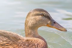 Female Mallard duck Close Up. Wildlife Stock Photo