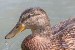 Female Mallard duck Close Up. Wildlife Royalty Free Stock Photo