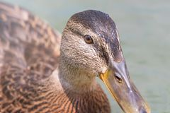 Female Mallard duck Close Up. Wildlife Stock Images