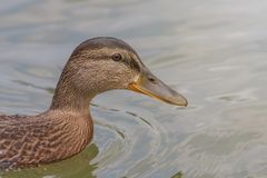 Female Mallard duck Close Up. Wildlife Royalty Free Stock Photo