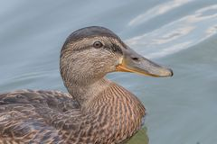 Female Mallard duck Close Up. Wildlife Stock Image
