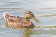 Female Mallard duck Close Up. Wildlife Royalty Free Stock Photos