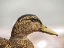 Female mallard duck Royalty Free Stock Photos