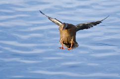 Female Mallard Duck Coming in for a Landing. On the Lake Stock Photo