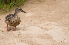 Female Mallard Duck. Curious duck Stock Photography