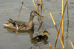 Female Mallard Duck with Duckling. Female mallard duck Anas platyrhynchos with a duckling in the water among reeds Stock Images