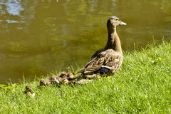 Female Mallard Duck and Ducklings. Female mallard duck with seven ducklings on the edge of a pond Royalty Free Stock Photos