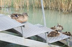 Female Mallard Duck with Ducklings. On Metal Steps at Lake Balaton Royalty Free Stock Photos