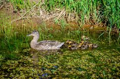 Female Mallard duck with ducklings. In rural pond royalty free stock photography