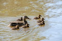 Female Mallard duck and ducklings. Female Mallard duck with her ducklings Stock Images