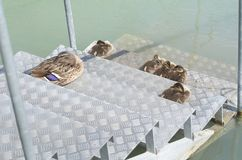 Female Mallard Duck with Ducklings. On Metal Steps at Lake Balaton Royalty Free Stock Photo