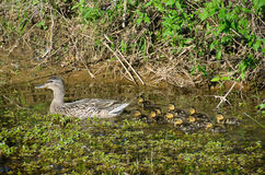 Female Mallard duck with ducklings. In rural pond Stock Photos