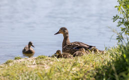 Female Mallard Duck with Ducklings on the Shore of a Pond Royalty Free Stock Images
