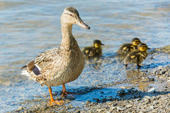Female mallard duck with ducklings Royalty Free Stock Photography