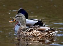 Female Mallard Duck Ducks swimming Royalty Free Stock Photos