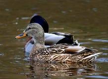 Female Mallard Duck Ducks swimming. In water Royalty Free Stock Photos