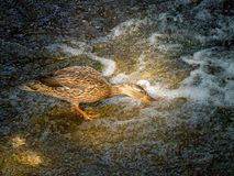 Female mallard duck eating on a stone near a waterfall. The female mallard duck eating on a stone near a waterfall Royalty Free Stock Photography