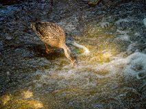 Female mallard duck eating in the water near waterfall. The female mallard duck eating in the water near waterfall Royalty Free Stock Images