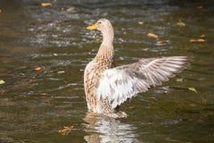 Female Mallard duck, mallard, eurasian wild duck, Anas platyrhyn Stock Photography