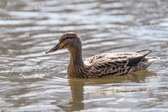 Female Mallard duck, mallard, eurasian wild duck, Anas platyrhyn. Birds and animals in wildlife. Close up of a Mallard Duck. Female Mallard Ducks at the Lake Stock Photography