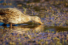 Female Mallard Duck Royalty Free Stock Photo